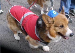 A Hanukkah hound