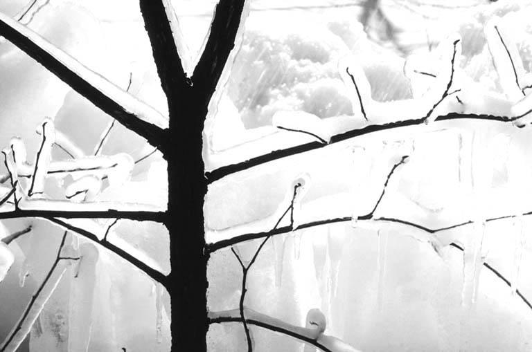 Iced tree 2