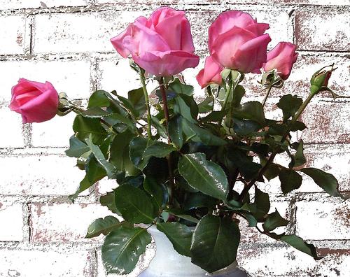 Rose Princess Margaret