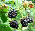 Blackberrying