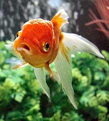 Goldfish bfraz licence cc by nc sa