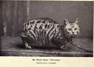 Manx cat