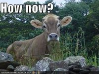 Brown cow2