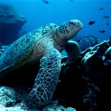 Bermuda Turtle