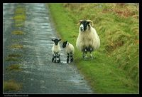 Sheep_scotland_4687