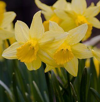 Daffodils2008[1]