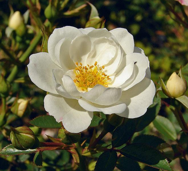 White rose 2wiki