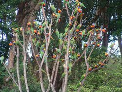 Tree of Lorikeets