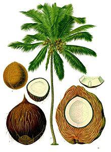 220px-Cocos_nucifera_-_Köhler–s_Medizinal-Pflanzen-187