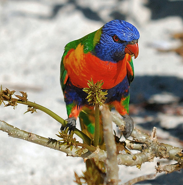 Weatherly Rainbow_Lorikeet