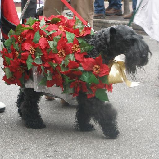 Poinsettia Pooch