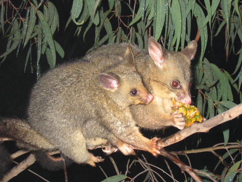Weatherly Brushtail_possum