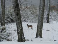 Deer in snow 2