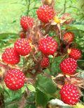 Andrea's berries