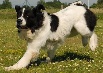 boatswain dog. byrons dog type boatswain o
