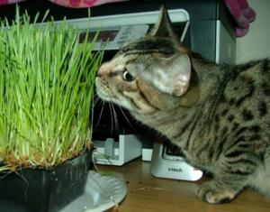 Wheatgrass2sm