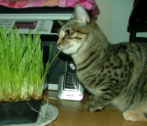 Wheatgrass4sm
