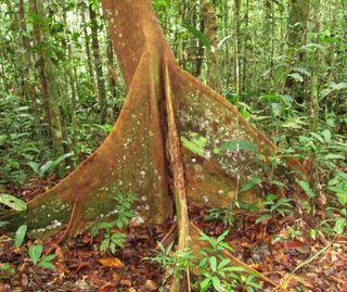 Original jungle