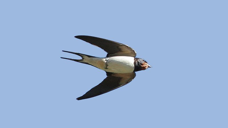 M7961eu swallow swooping down, t90, J&MJ