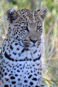 Leopard cub 1