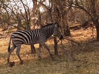Zebra at Moremi