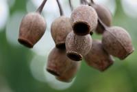 BigGumnuts