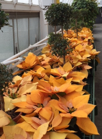 Golden Poinsettias