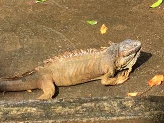 Iguana basking B cropped