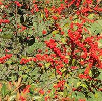 Brilliant berries at Ladew