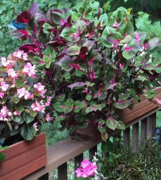 Rampant deck flowers