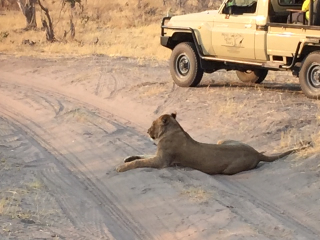 Lion and truck