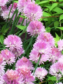 Blossoming Chives