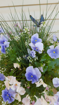Pansies&Butterfly