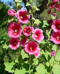 Wench Alcea_rosea_lv_1