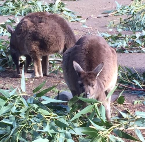 Aust--Kangaroos chowing down