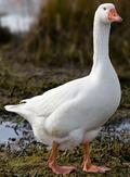 Domestic_Goose