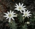Flannel_Flowers