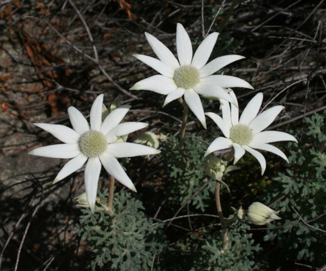 Flannel_Flowers