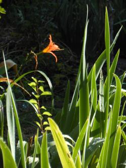Daylilyflower