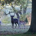 Ashdown deer