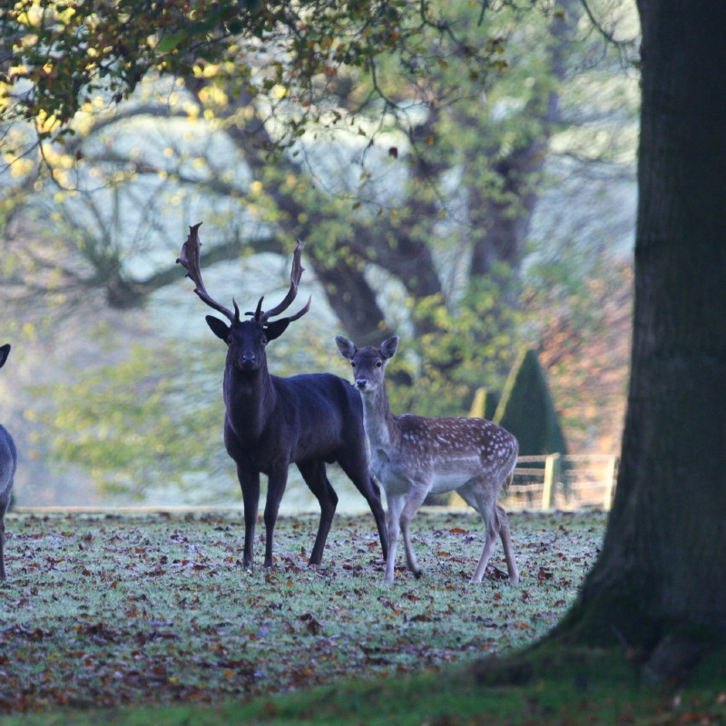 Ashdown deer