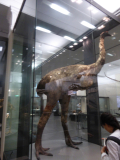 Extinct Moa
