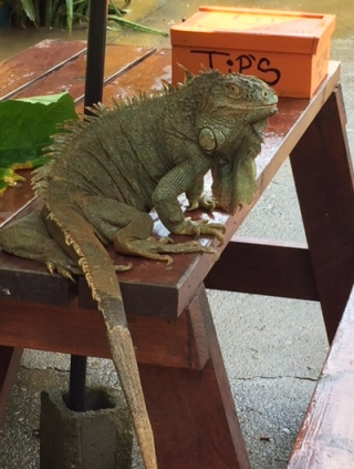 Iguana trolling for tips
