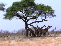 Girafes in the shade