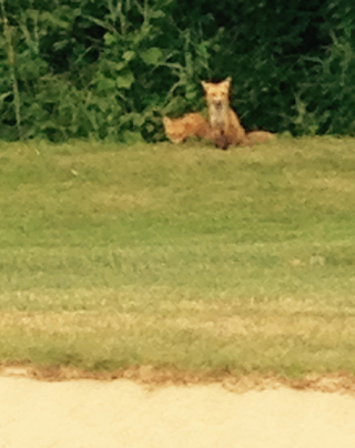 Golf foxes