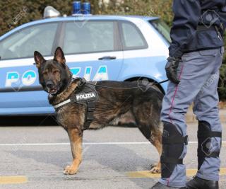 74353740-italian-police-dog
