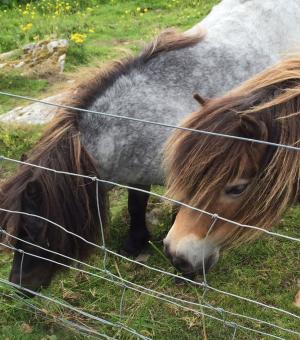 Ponies munching