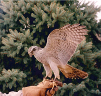 Wench goshawk