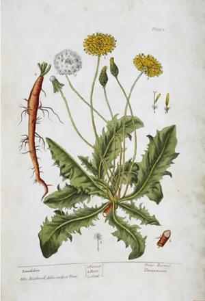 A curious herbal_dandelion