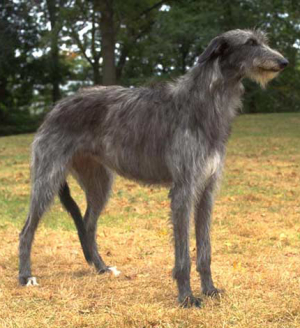 Scottish-Deerhound-MP